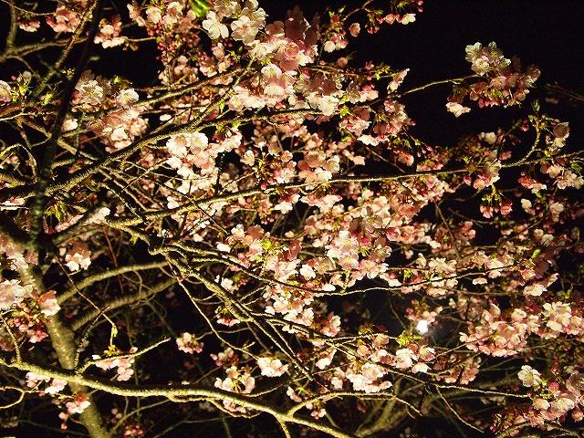 117河津桜