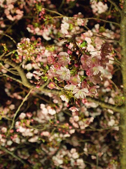 126河津桜