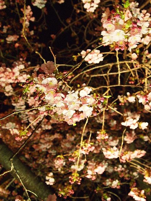 129河津桜