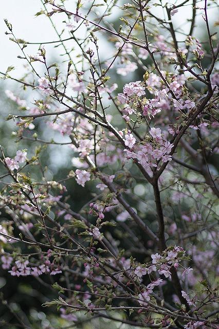 IMG_4682河津桜