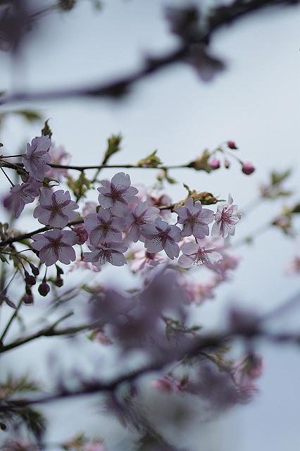IMG_4692河津桜
