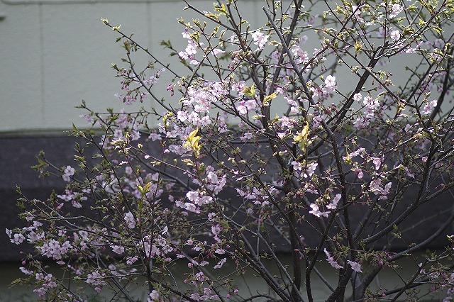 IMG_4728河津桜