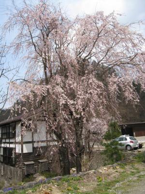 白川診療所前 桜です