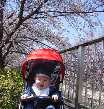 20110406桜とharu