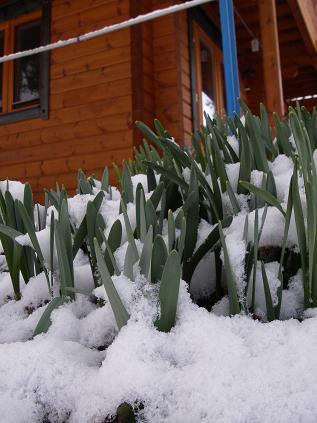 春の雪(スイセン)