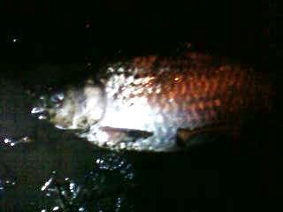 2010/02/23府中湖ヘラブナ1