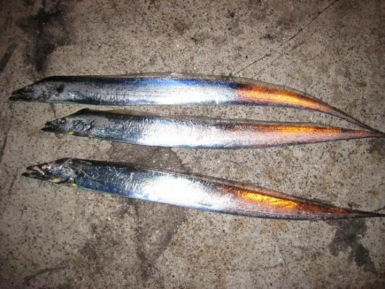 2009/11/05しんた太刀魚結果3匹