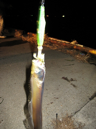 2009/11/19しんた太刀魚3