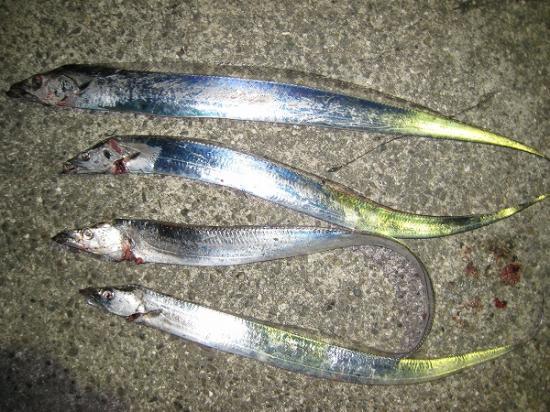 2009/11/19しんた太刀魚結果4匹