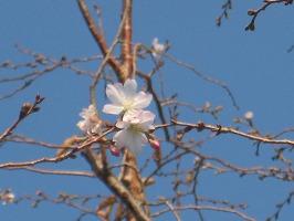 早咲き(?)の桜