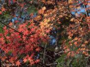 小国神社の紅葉 その三