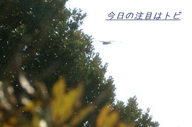 20100110 トビ