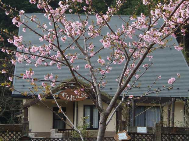 25年3月10日満開の河津桜