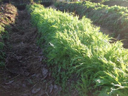 自然農法畑その3
