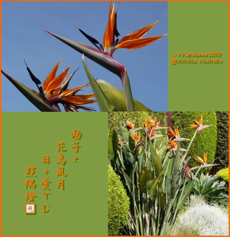 091207極楽鳥花