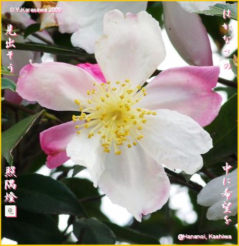 091221山茶花