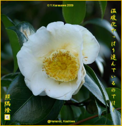 091229白玉椿