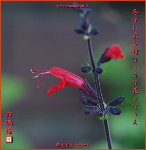 100105紅花サルビア