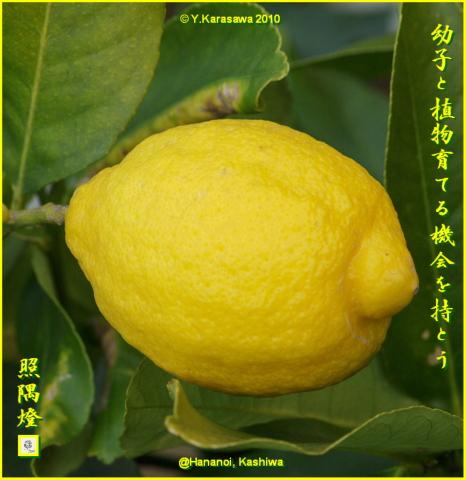 100106レモン