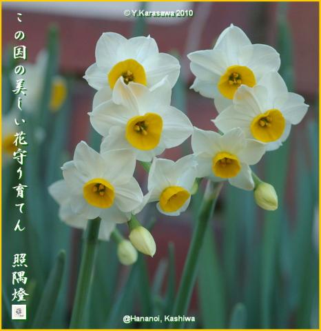 100108日本水仙