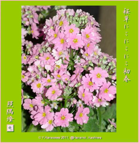 110101西洋桜草