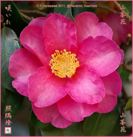 110102山茶花