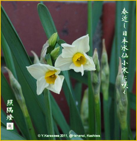 110108日本水仙