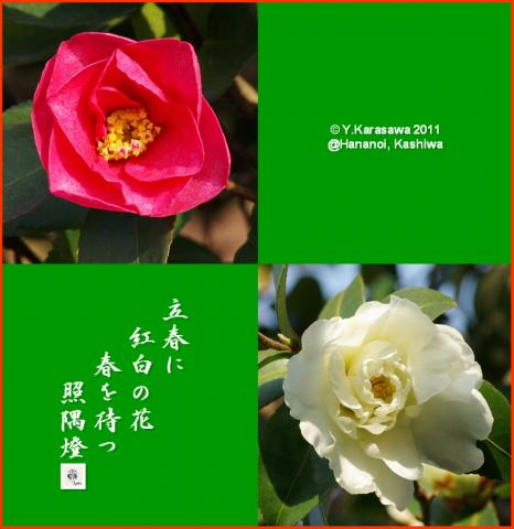 110204山茶花紅白