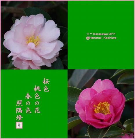 110205山茶花ピンク