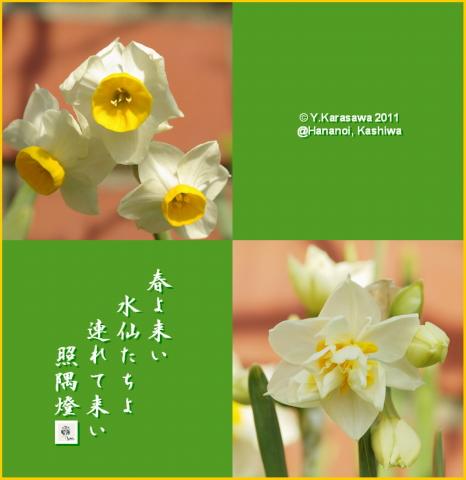 110211日本水仙