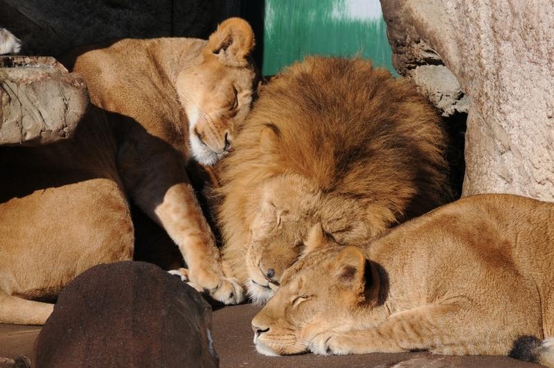 lion19120901.jpg
