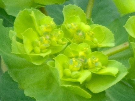 トウダイグサの花