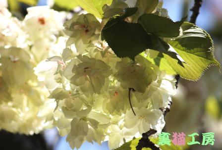 4月26日緑の桜のコピー