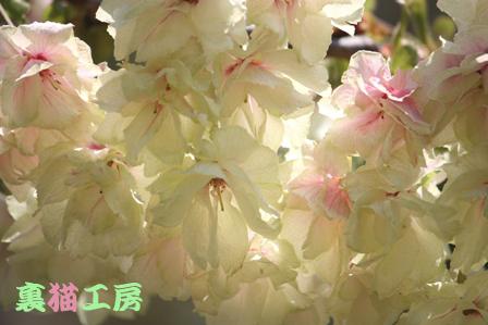 4月26日緑の桜2のコピー