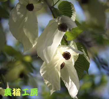 4月25日ハンカチの木のコピー