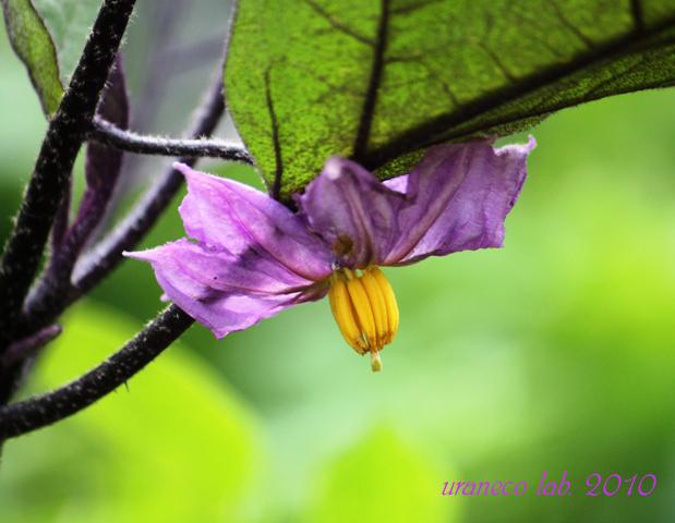 6月15日ナスの花のコピー