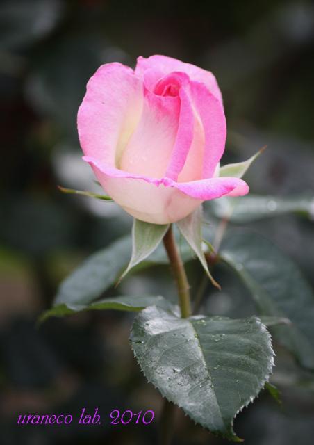 6月15日薔薇つぼみのコピー