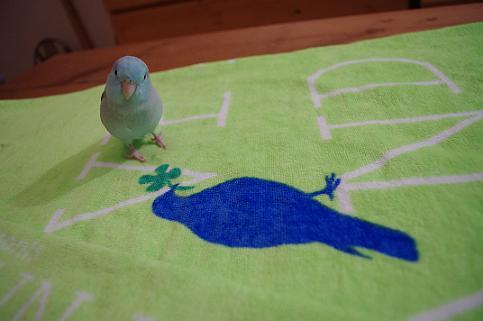 会場で青い鳥のバスタオル購入♪