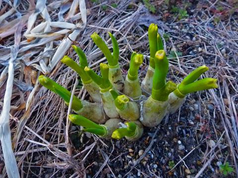 怪しげに再生する葱