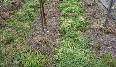 刈り草は溝に