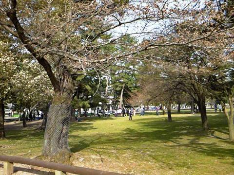 奈良公園の桜もばちぼち~