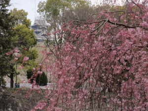 P3250167しだれ桜