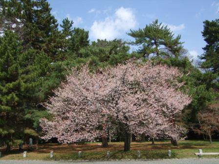 京都御所桜2