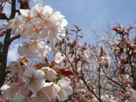 京都御所桜3
