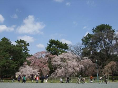 京都御所桜