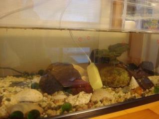 たくさんの金魚の赤ちゃん 2010.1.6