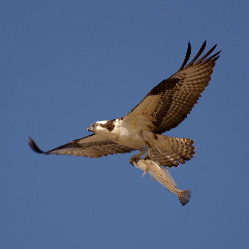 Pandion_haliaetus.jpg