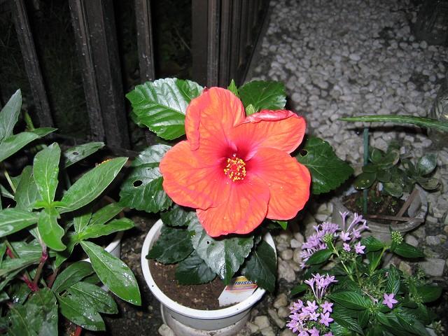 赤い花98