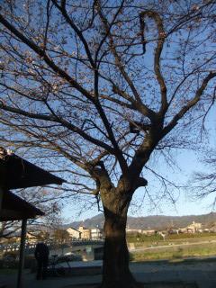 賀茂川の桜の様子確認(出雲路橋付近)_01_2011-04-04
