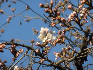 賀茂川の桜の様子確認(出雲路橋付近)_02_2011-04-04